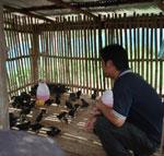 การเลี้ยงไก่พื้นเมือง
