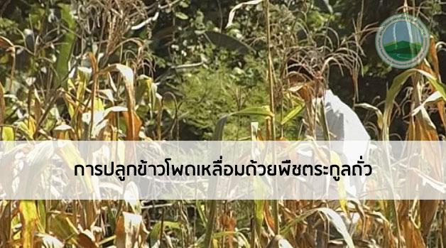 การปลูกข้าวโพดเหลื่อมด้วยพืชตระกูลถั่ว
