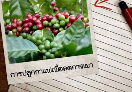 การปลูกกาแฟเพื่อลดการเผา
