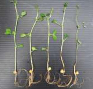โครงการวิจัยและพัฒนาปัจจัยการผลิตชีวภาพ เพื่อทดแทนสารเคมีเกษตรบนพื้นที่สูง โครงการทดสอบเชื้อเอนโดไฟติกกับถั่วลันเตา